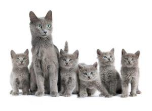 кошка и котята нибелунг