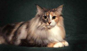 трехцветная норвежская лесная кошка