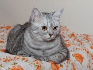британская короткошерстная кошка лежит на постели