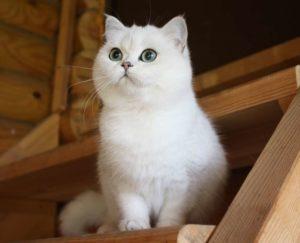 шотландская прямоухая белая кошка