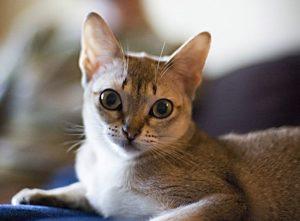 мини кошка сингапур