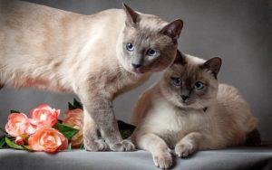 две тайские кошки с цветами