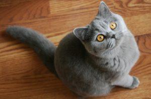 британская кошка девочка серая