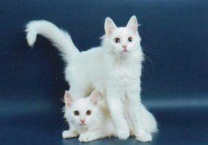 котята породы турецкая ангора