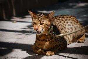 кошка саванна на повадке