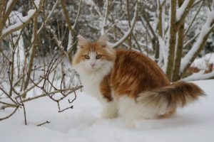 норвежская лесная кошка стоит в снегу