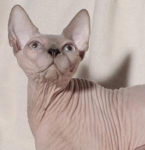 кошка бамбино смотрит вверх