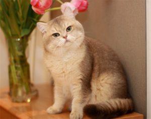 британская золотая шиншилла с тюльпанами