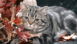 стареющая американская кошка