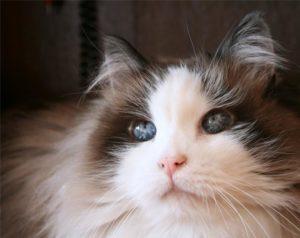 кошка породы рэгдолл