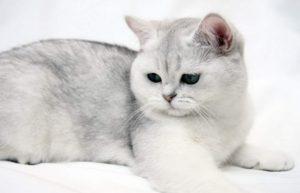 британская короткошёрстная кошка сфинкс