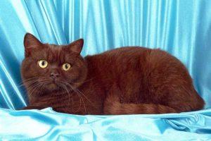 британская короткошёрстная кошка шоколадный окрас