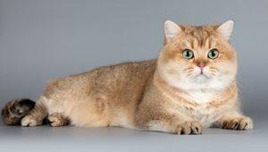 британская короткошерстная кошка шиншилла