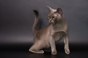 кошка породы бурма