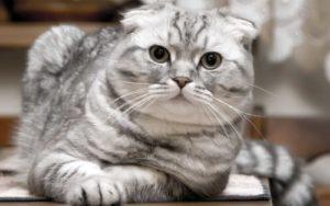 темперамент шотландской кошки