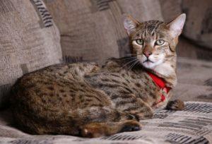 кошка ашера лежит на диване