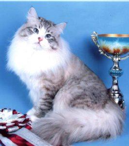 сибирская кошка белый биколорный окрас