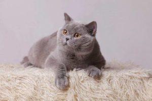 британская прямоухая кошка смотрит в сторону