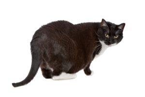 ожирение черного кота