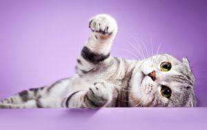 шотландская вислоухая кошка играет