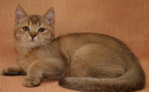 окрас шерсти шотландских кошек тиккированный