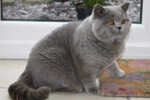 британская пухленькая кошка