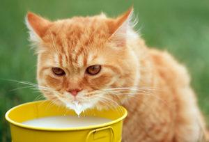 кошка ест сметану