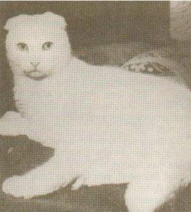 первая вислоухая кошка сьюзи