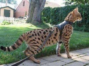 кошка ашера на выгуле