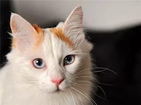 котенок турецкий ван