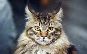 кошка мейн кун смотрит прямо