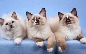 котята породы рэдголл