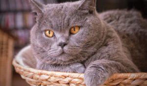 британская короткошерстная кошка в лежаке
