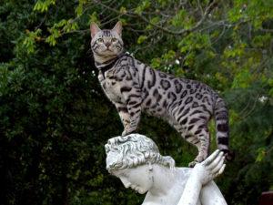 кошка саванна на статуе