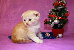 шотландский вислоухий котенок с елочкой