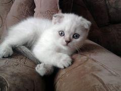 шотландский вислоухий котенок лежит на диване