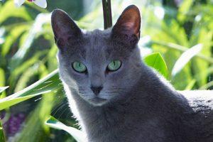 русская голубая кошка в зелени