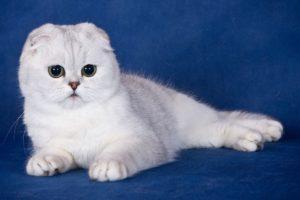Шотландская вислоухая кошка уход и кормление