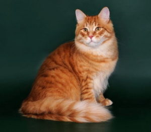 сибирская кошка с красным окрасом