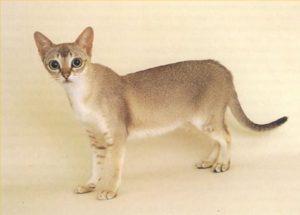 кошка сингапура стоит