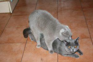 шотландская вислоухая кошка вязка