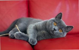 британская короткошёрстная кошка на красном диване