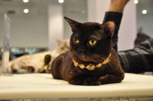 бурманская кошка с золотой цепью
