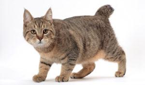кошка пикси боб