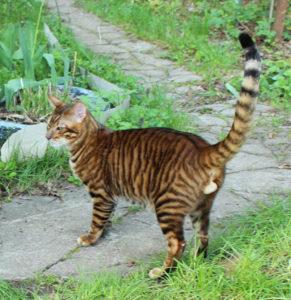 тойгер кошка стоит на тропинке