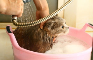 кошку моют с шампунем