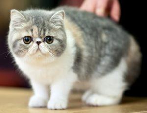 короткошерстная экзотическая кошка