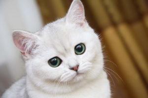 британская белая кошечка