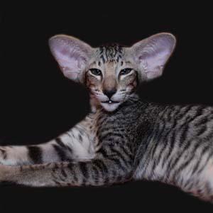 ориентальная полосатая кошка