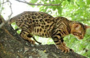 бенгальская кошка на дереве